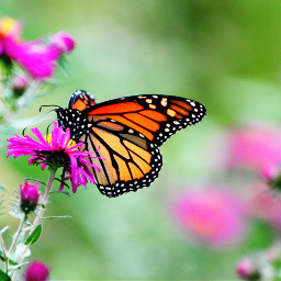 butterfly summer nature naturephotography freetoedit
