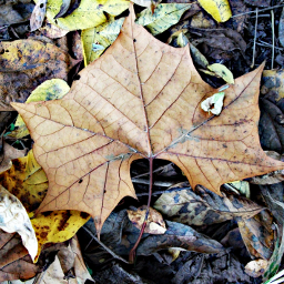 fallenleaves rustic autumn foliage october2016 freetoedit