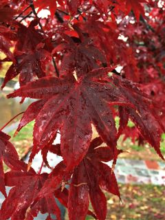 leaves red rain closeup nofilter