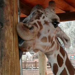 freetoedit giraffe kiss funny myoriginalphoto